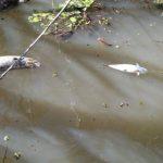 IAP estima que 50 mil quilos de peixes foram mortos no Rio Piquiri