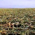 Vendaval causa prejuízo e destrói plantações inteiras de milho em Goioerê