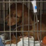 Cadela é resgatada por morador após ser atropelada em Umuarama