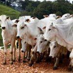 Paraná suspende vacinação de rebanho contra a febre aftosa