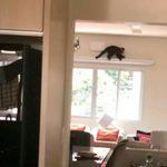 Macaco invade apartamento e assusta moradora em Umuarama