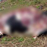 Ladrões tiram partes de boi e deixam animal agonizando em Roncador