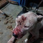 Justiça decreta a prisão preventiva de 22 dos 41 envolvidos em rinha de cães