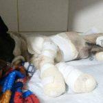 Morre cachorro que foi amarrado e arrastado por caminhonete em Campo Mourão
