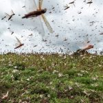 Baixa temperatura deve dificultar entrada de gafanhotos no Brasil