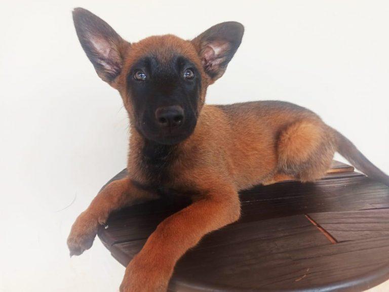 Canil do BOPE distribui filhotes para canis de unidades do interior do Paraná