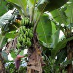 Ciclone 'bomba' causou perdas na cultura da banana no Paraná