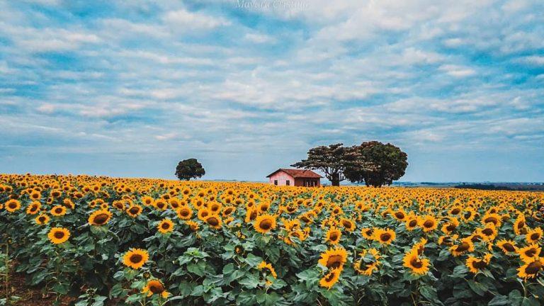 Plantação de girassol encanta moradores e se transforma em ponto turístico de Mariluz