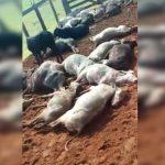 Raio mata homem e diversas cabeças de gado em Loanda, no Paraná