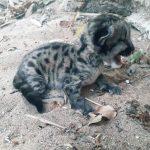 Filhote de onça parda é resgatado pela Polícia Ambiental em Loanda