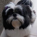 Cachorra desaparece e dona registra boletim de ocorrência em Umuarama
