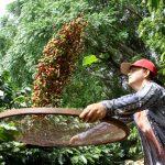 Boletim agropecuário destaca término da colheita do café