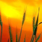 Boletim agropecuário destaca o início da colheita da cevada no Paraná