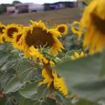 Plantação de girassóis enfeita paisagem e vira cenário para fotos em Umuarama