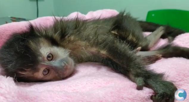 Filhote de macaco-prego é resgatado após ser atropelado em Umuarama