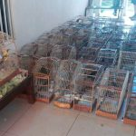 Batalhão de Polícia Ambiental resgata 116 pássaros silvestres em Pato Branco